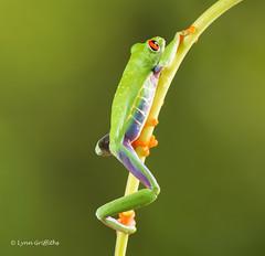 Red Eye Tree Frog - I hope the climb is worth it D75_2719.jpg (Mobile Lynn) Tags: england nature unitedkingdom amphibian frog gb captive bournemouth coth greatphotographers redeyetreefrog specanimal