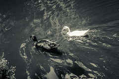 (Ivn Rubn) Tags: lake water lago agua ducks patos
