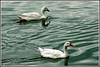 6366 - ducks (chandrasekaran a 38 lakhs views Thanks to all) Tags: duck birds nature india chennai canon eos400d