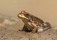 Amp-11.jpg (Frog) (luc_pic) Tags: d500 closeup wildlife nature amphibian green iridescent small sand puddle frog