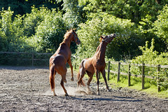 Playing (powerdook) Tags: trees horses horse green nature animal animals racetrack forest fence outside high outdoor dirt stable