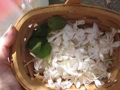 Jazmin & basil (Lolo & Ol! (Inma)) Tags: jazmin jasmine flower fleur flor blanco albahaca basil hojas leaf witchgarden slowlife