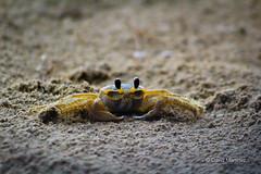 Mirada Curiosa (Davo Marto) Tags: crab crustacean eyes sand yellow macro tongs