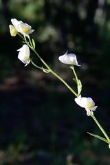 White Monks Hood in Van Norden meadow-03 7-14-16 (lamsongf) Tags: flowers monkshood donnersummitvalley