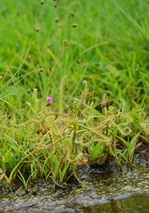 Drosera indica L. (Anurag N. Sharma) Tags: carnivorous insectivorous rockpools glandular droseraceae scrubforest drydeciduousforest floraofindia droseraindical floraofkarnataka floraoftumkurdistrict bhaskarv