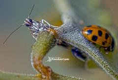 What R U Looking At? (haidarism (Ahmed Alhaidari)) Tags: insect bug animal ladybird moth butterfly outdoor nature bokeh depthoffield sonya65 macro macrophotography ngc greatphotographers