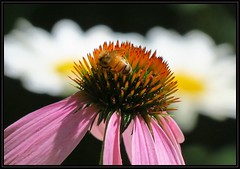 IMG_6995 In a Garden Paradise VI 7-16-16 (arkansas traveler) Tags: honeybee bees bichos bugs insects flowers echinacea daisies shastadaisy zoom telephoto nature naturewatcher bokeh bokehlicious natureartphotography