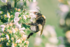 Bumblebee (andrey.senov) Tags: russia kostroma province summer bumblebee flowers nature blur macro          fujifilm fuji xa1 fujifilmxa1 35faves
