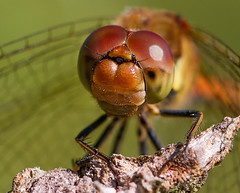 _MG_1882 (jjays7155) Tags: eos7d cadnamcommon dragonfly sigma105mm