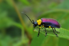 Purple Beetle (Henry Zou) Tags: beetle coleoptera leaf beetles bug small macro micro conservation purple close closeup up photography scary peru amazon rainforest machu picchu cloud forest nature wildlife photo yellow colors chrysomelidae elytra