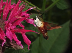 Clear Winged Moth Hawk Feeding on a Bee Balm Flower DSCF2174 (Ted_Roger_Karson) Tags: fujifilmxs1 moth mothhawk mothhummingbird clearwingmothhummingbird spinxmothhummingbird bee balm flower fujifilm xs1 hawk hand held camera sphinx hummingbird motion raynox dcr150 canon powershot sx280 hs slow high speed video northern illinois macrolife macro sx700 powershotsx700 thisisexcellent flowerhead flowers back yard friends twop hd eyes pollen animal outdoor insect pollinator plant depth field backyard animals the group ourplanet flying clear wing with proboscis tongue extended feeding scarlet thistleflower