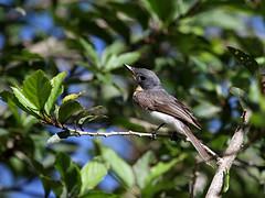 Female Satin Flycatcher 3 (Dan Armbrust) Tags: armbrust danarmbrust australia queensland mossman flycatcher satin cannon birds
