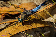 Se comera a la hormiguita? (loriagaon) Tags: galicia pontevedra espaa sonyrx10lll rx10lll macro loriagaon loria animales animals libelula dragonfly naturaleza nature sonydscrx10iii