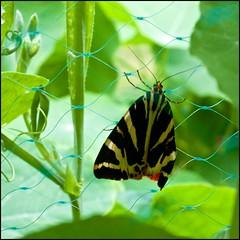 Jersey Tiger-moth - DSCF4135a (normko) Tags: jersey tiger moth tigermoth london w12 west shepherds bush garden wood lane