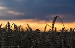 Evening in the grain fields 2. (andreasheinrich) Tags: nature grain fields summer evening sunset august warm colorful germany badenwrttemberg neckarsulm dahenfeld deutschland natur getreide felder sommer abend sonnenuntergang farbenfroh nikond7000
