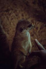 (Raquel Mallén) Tags: meerkat animal zoo bioparc portrait focus 50mm photography raquelmallén wild naturaleza nature park