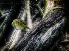 One sunfish (Explored 8/6/16) (flowerweaver) Tags: river clear pristine fish sunfish roots surreal dream dreamy ethereal swimming swim reflection