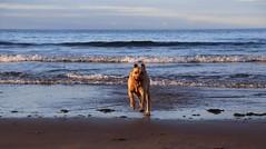 Incoming wet dog ! (Marra Man) Tags: cocklawburnbeach scremerston labrador foxredlabrador dog sea waves