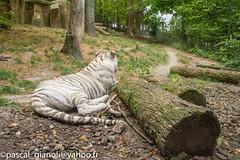DSC_2374-HDR (Pascal Gianoli) Tags: beauval lion lionne tigre tigreblanc whitetiger zoo zooparc saintaignansurcher centrevaldeloire france fr pascal gianoli pascalgianoli