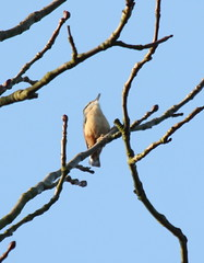 Nuthatch singing high up in a tree by the Garden Centre (stephenmid) Tags: bird alexandrapalace alexandrapark allypally birdbrain