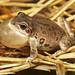 Illinois Chorus Frog, Male