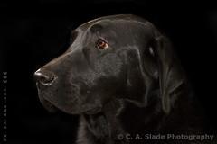211 (Tehidy123) Tags: portrait dog pet canon friend labrador best mans 7d