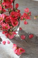 springflower (stgio) Tags: flower primavera season spring springflower