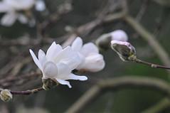 (Environmental Artist) Tags: uk sky sun paris flower london spring nikon europe hasselblad oxford magnolia