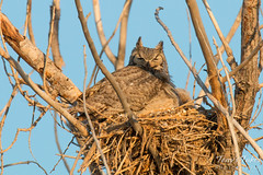 Female Great Horned Owl keeps her owlets warm