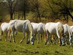 P1010027-1 / Horses. Hungary. (lilired) Tags: horses nature animal paysage soe coth supershot fantasticnature naturemasterclass coth5