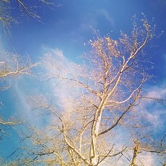 Autumn skies in New Zealand #autumn #new Zealand #sky #skies #silver birch #tree #birch #leaves (Markj9035) Tags: square lofi squareformat iphoneography instagramapp uploaded:by=instagram