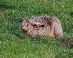 EUROPEAN BROWN HARE (LEPUS EUROPAEUS), SOUTH OXFORDSHIRE FARMLAND. (Gary K. Mann) Tags: wild england brown canon mammal hare european wildlife south farmland british oxfordshire europaeus lepus
