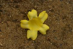 I fell upon the sand (holdit.) Tags: nature forest natural vine hike explore wildflower jessamine sempervirens gelsemiumsempervirens gelsemium carolinajessamine