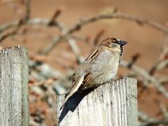 Sparrows (nz_willowherb) Tags: scotland spring perthshire sparrow killin