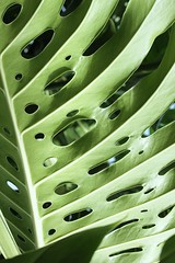 split leaf (hennessy.barb) Tags: green gardens leaf foliage biltmore split philodendron holey
