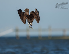 Osprey Dive 7_19 3 (krisinct- Thanks for 12 Million views!) Tags: nikon 500 f4 vr d500