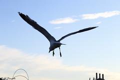 012821 - Gaviota (M.Peinado) Tags: gaviota gaviotas ave aves animal animales fauna puerto puertodebarcelona barcelona provinciadebarcelona catalua espaa spain 17062016 juniode2016 2016 canoneos60d canon copyright