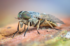 horse fly (epioxi) Tags: epioxi componon horsefly bremse deerfly tabanus schneiderkreuznach zerenestacker insect