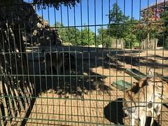 Daim au jardin d'acclimatation - Paris (stefff13) Tags: paris fan jardin parc daim acclimatation