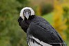 Andean condor (My Planet Experience) Tags: andeancondor vulturgryphus andes south america vulture raptor portrait bird wild wildlife animal zoo captivity conservation biodiversity species endangered myplanetexperience wwwmyplanetexperiencecom specanimal specanimalphotooftheday