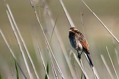 bruant des roseaux ( Emberiza schoeniclus ) Erdeven 160714a2 (pap alain) Tags: oiseaux passereaux bruantdesroseaux emberizaschoeniclus commonreedbunting erdeven morbihan bretagne france emberizids