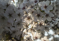 Just Catching the Light - Spring Blossom (GOR44Photographic@Gmail.com) Tags: blossom flower sunlight gor44 hatfield spring white fujifilm xf35mmf14 35mmf14