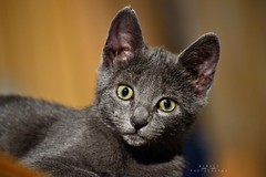 Miss Lupin (A L R O E S) Tags: animal cat grey eyes kitten gata lupin gatita