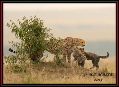 FEMALE CHEETAH WITH HER CUBS (Acinonyx jubatus).....MASAI MARA....SEPT 2015. (M Z Malik) Tags: africa nikon kenya wildlife ngc safari npc kws masaimara cheetahfamily flickrbigcats exoticafricancats d800e exoticafricanwildlife 400mmf28gedvr