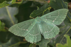 Large Emerald Moth (steb1) Tags: largeemeraldmoth geometrapapilionaria moth lepidoptera insect preesheathcommon