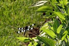 Twelve-spotted skimmer dragonfly (Libellula pulchella), West Bloomfield, Michigan (davidvictor513) Tags: dragonfly skimmer twelvespottedskimmer twelvespottedskimmerdragonfly libellulapulchella oaklandcountymichigan westbloomfield michigan insect insekt insecte libellule libelle libel liblula libellulegracieuse bug fauna faune dier tier tierwelt animal animale segellibelle zwlfpunktesegelibelle twaalfbevlektelibel libluladocemanchado