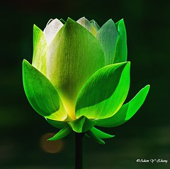 Beauty and Magic of Light (Thank you, my friends, Adam!) Tags: adamzhang  telephoto nikon dslr         lens central florida wildlife macro closeup flower beauty curve fine art photography photographer excellent gallery ngc