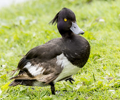 walk this way (Yvonne Alderson) Tags: white lake black male duck pond durham tufted