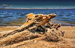 Dead tree in Alviso