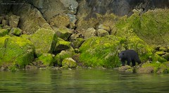 Intertidal Black Bear (www.jessfindlay.com) Tags: ocean bear sea seascape canada mammal coast pacific britishcolumbia vancouverisland pacificnorthwest coastline lowtide wilderness westcoast pacificcoast blackbear ursusamericanus jessfindlay wwwjessfindlaycom jessfindlayphotography